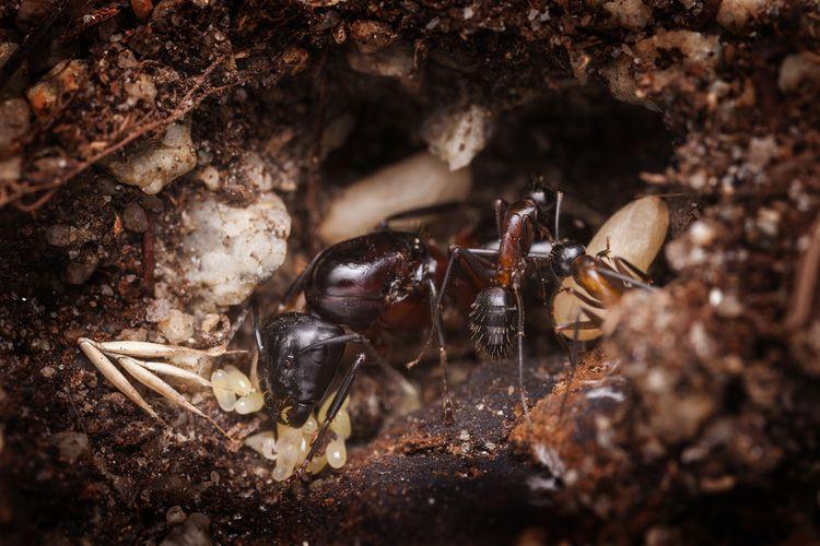 Mravenčí královna v hnízdě