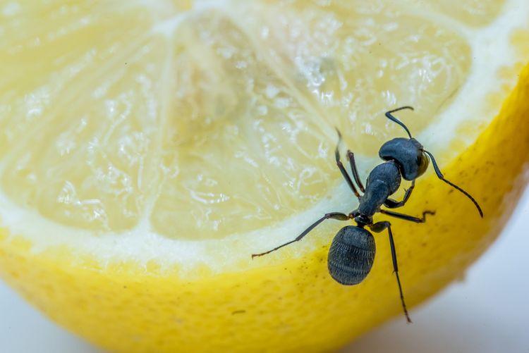 Mravenec na citronu
