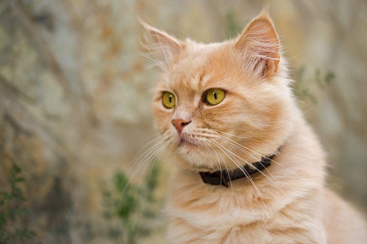 Kočka s obojkem