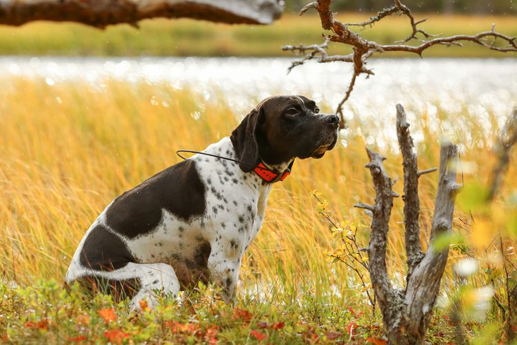 Lovecký pes s GPS lokátorem
